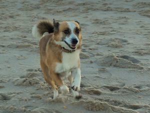 Hund rennt am Strand auf Sylt