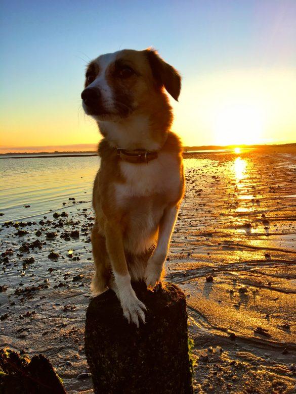 Hund auf einem Pfal bei Sonnenuntergang am Sylter Ellenbogen
