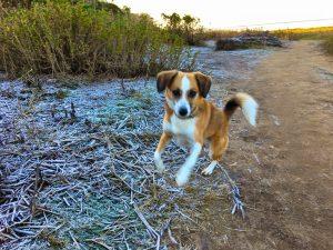 Hund springt über den Wanderweg auf Sylt