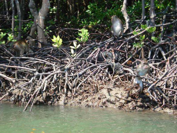 Mangrovenwälder auf Koh Lanta