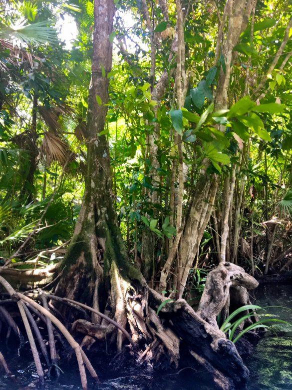 Mangroven am Rio Dulce