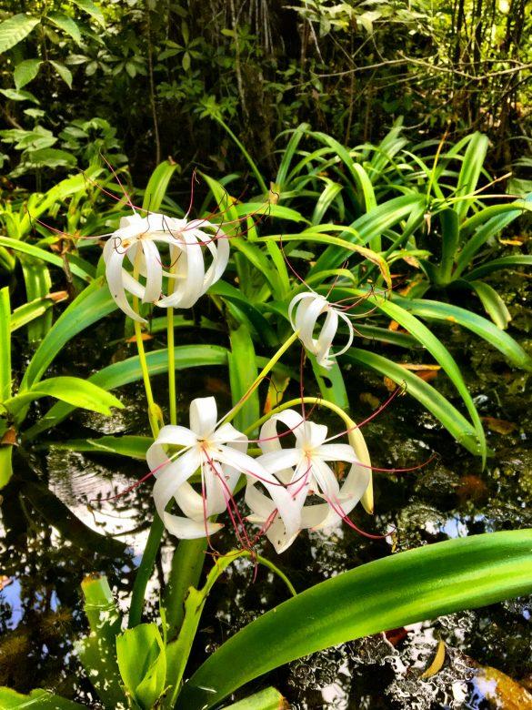 weiße Blüte am Rio Dulce