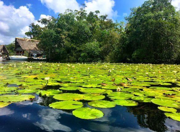 Wasserlilien am Rio Dulce