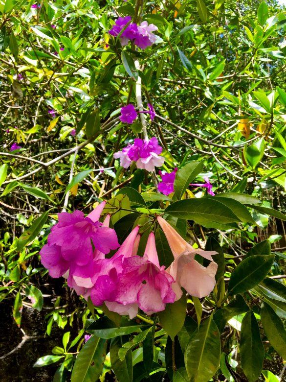 Rosa Blüten am Rio Dulce