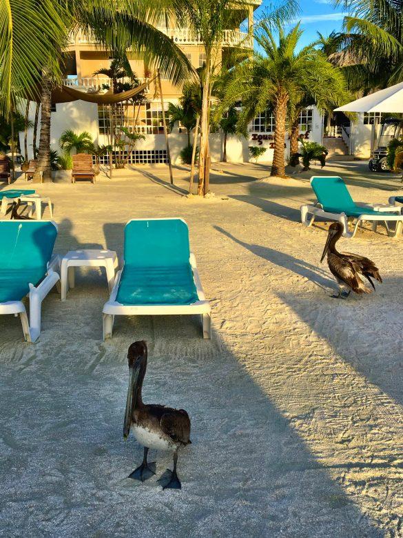 Pelikane an der Iguana Beach Bar auf Caye Caulker