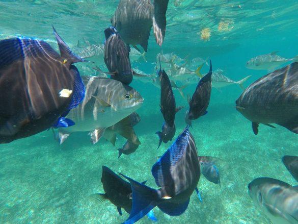 Fischschwarm beim Schnorcheln auf Caye Caulker