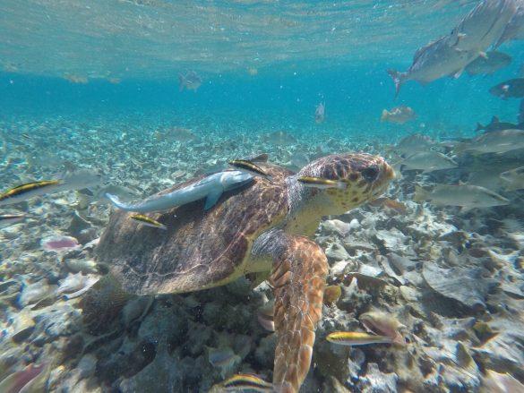 Schildkröte mit Fischen beim Schnorcheln in Caye Caulker