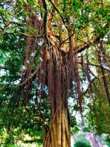 Baum in Anuradhapura