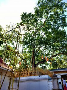 Bodhi-Baum in Anuradhapura