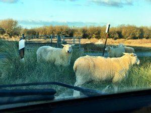 Schafe aufm Sylter Deich