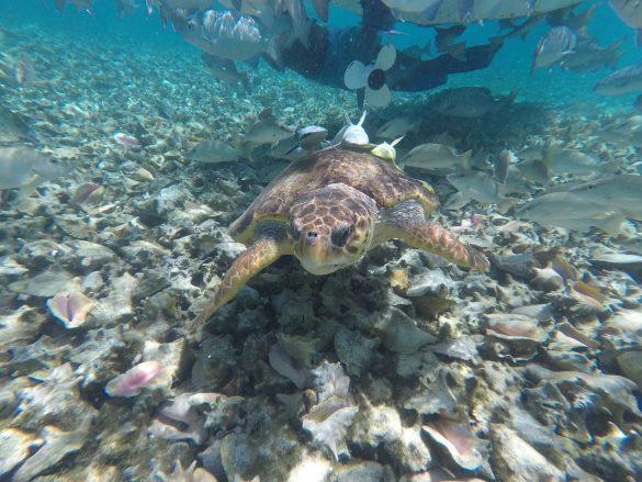 Schildkröte beim Schnorcheln in Belize