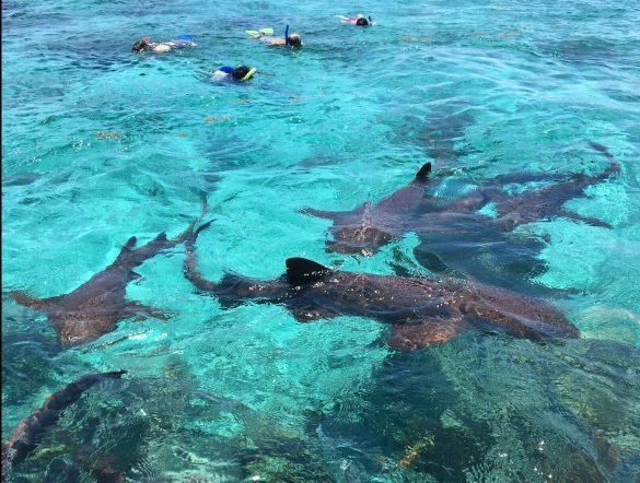 Schwimmen mit Ammenhaie in Caye Caulker