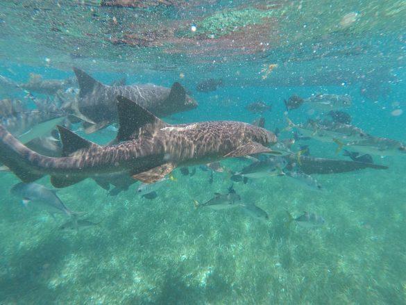 Nurding Sharks beim Schnorcheln in Belize