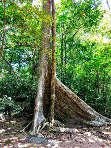Baumwurzel im Waldkloster Rigitala